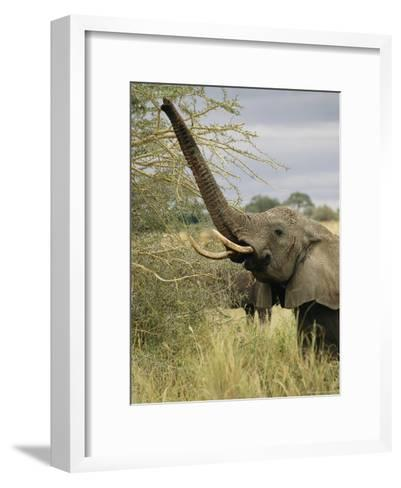 An African Elephant Uses its Trunk to Reach into a Tree-Roy Toft-Framed Art Print