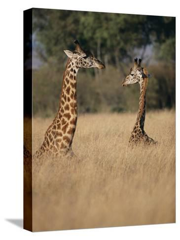 A Pair of Masai Giraffes Stand Above the Brush-Roy Toft-Stretched Canvas Print