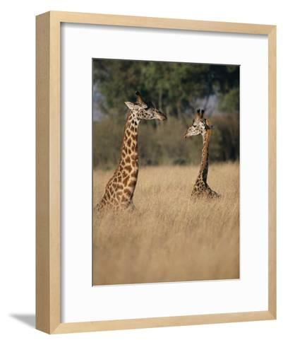 A Pair of Masai Giraffes Stand Above the Brush-Roy Toft-Framed Art Print