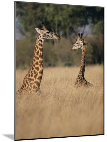 A Pair of Masai Giraffes Stand Above the Brush-Roy Toft-Mounted Photographic Print