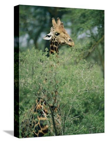 A Reticulated Giraffe Pokes its Head Above a Tree-Roy Toft-Stretched Canvas Print