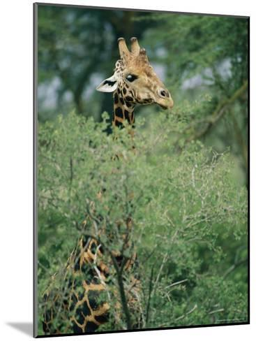 A Reticulated Giraffe Pokes its Head Above a Tree-Roy Toft-Mounted Photographic Print