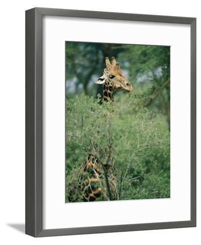 A Reticulated Giraffe Pokes its Head Above a Tree-Roy Toft-Framed Art Print