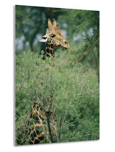 A Reticulated Giraffe Pokes its Head Above a Tree-Roy Toft-Metal Print