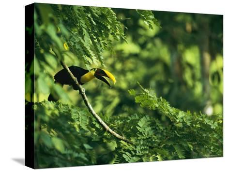 A Chestnut-Mandibled Toucan Perches on a Branch--Stretched Canvas Print