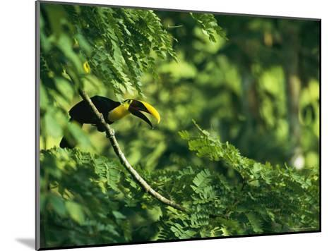 A Chestnut-Mandibled Toucan Perches on a Branch--Mounted Photographic Print