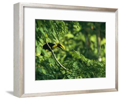A Chestnut-Mandibled Toucan Perches on a Branch--Framed Art Print