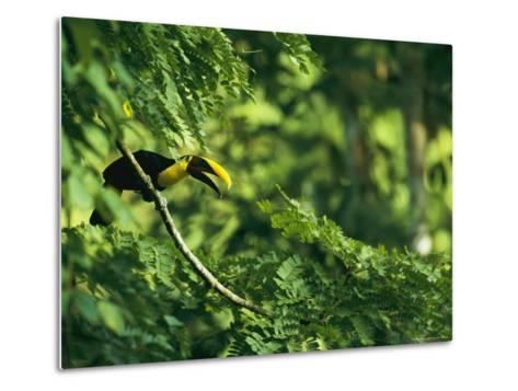 A Chestnut-Mandibled Toucan Perches on a Branch--Metal Print