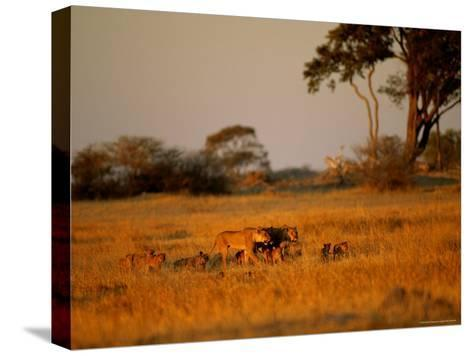 Lionesses and Their Cubs Make a Joyful Sight as They Gambol Across the Golden Savannah--Stretched Canvas Print