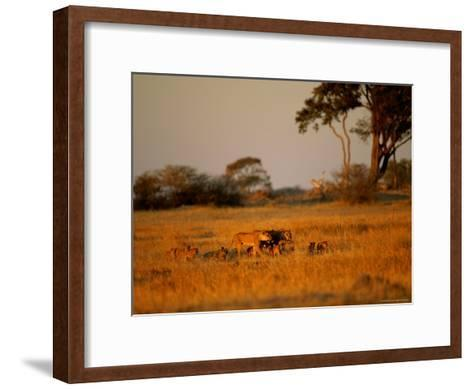 Lionesses and Their Cubs Make a Joyful Sight as They Gambol Across the Golden Savannah--Framed Art Print