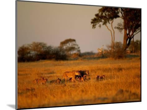 Lionesses and Their Cubs Make a Joyful Sight as They Gambol Across the Golden Savannah--Mounted Photographic Print