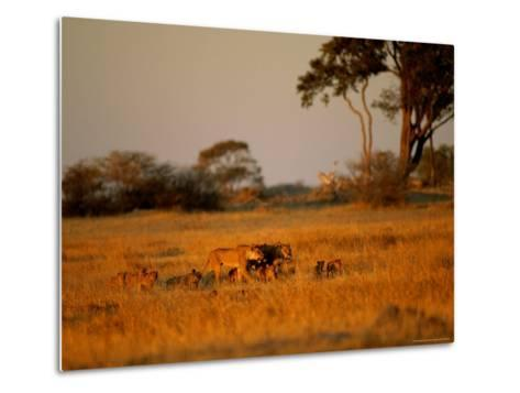 Lionesses and Their Cubs Make a Joyful Sight as They Gambol Across the Golden Savannah--Metal Print