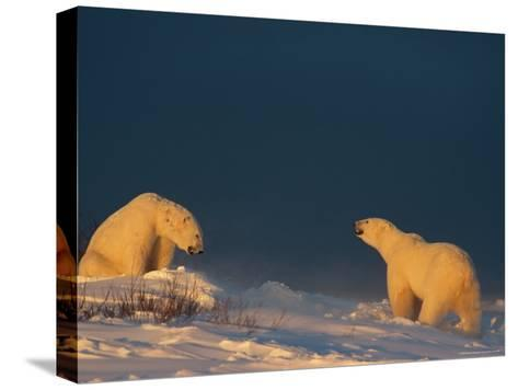 Two Polar Bears (Ursus Maritimus) Prepare to Fight Each Other-Norbert Rosing-Stretched Canvas Print