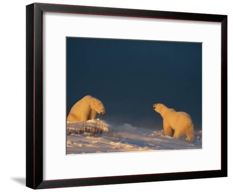 Two Polar Bears (Ursus Maritimus) Prepare to Fight Each Other-Norbert Rosing-Framed Art Print