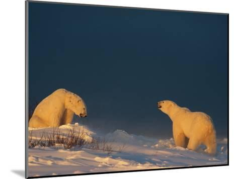 Two Polar Bears (Ursus Maritimus) Prepare to Fight Each Other-Norbert Rosing-Mounted Photographic Print