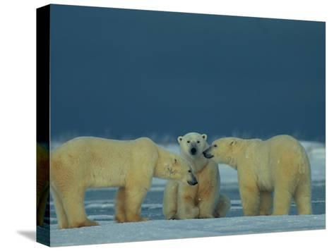 A Trio of Polar Bears (Ursus Maritimus) Playing-Norbert Rosing-Stretched Canvas Print