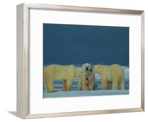 A Trio of Polar Bears (Ursus Maritimus) Playing-Norbert Rosing-Framed Art Print