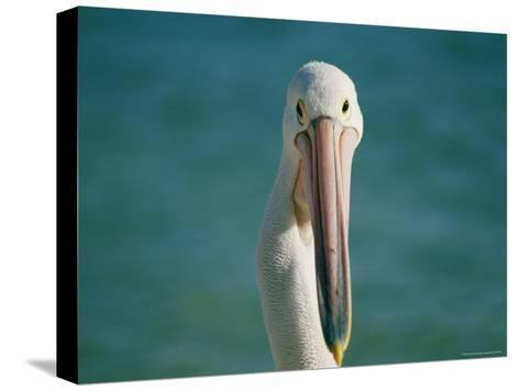 A Portrait of a Pelican at Monkey Mia on Shark Bay--Stretched Canvas Print