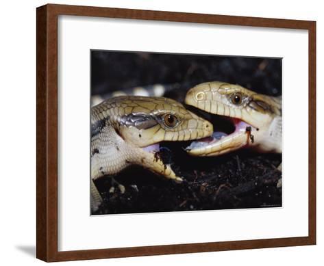 Blue-Tongue Skinks Spar Face-To-Face--Framed Art Print