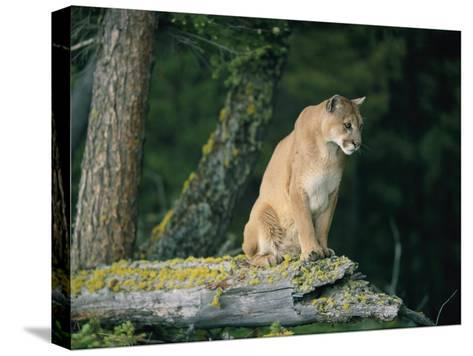 A Captive Male Mountain Lion Sits Atop the Trunk of a Fallen Tree--Stretched Canvas Print