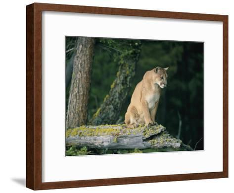 A Captive Male Mountain Lion Sits Atop the Trunk of a Fallen Tree--Framed Art Print