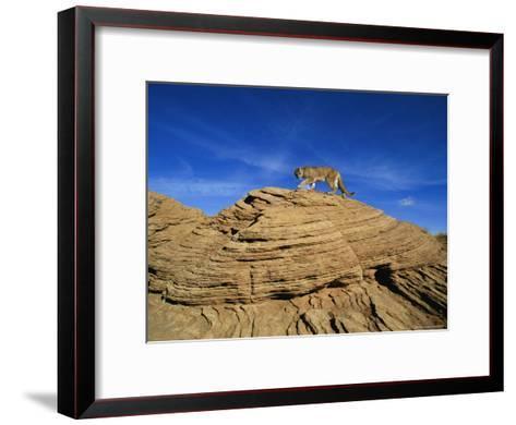 A Mountain Lion Walks Across a Desert Landscape--Framed Art Print