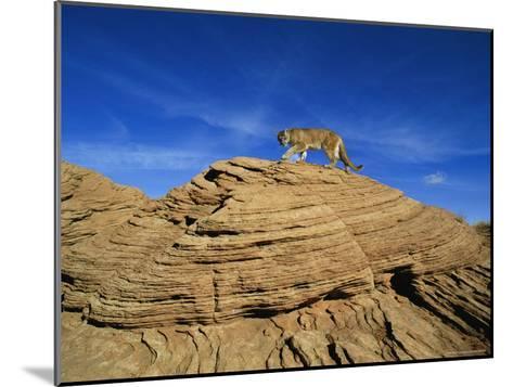 A Mountain Lion Walks Across a Desert Landscape--Mounted Photographic Print