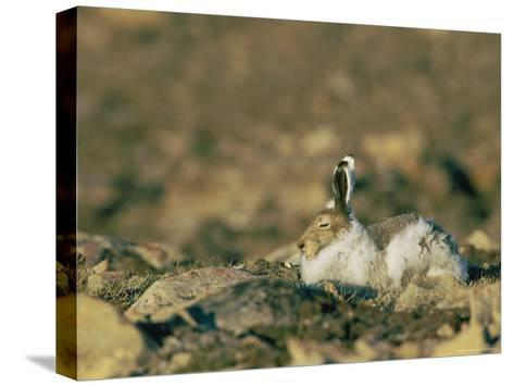 Arctic Hare Showing Changing Seasonal Colors-Norbert Rosing-Stretched Canvas Print