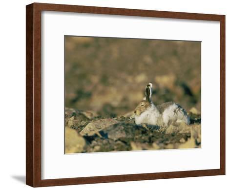 Arctic Hare Showing Changing Seasonal Colors-Norbert Rosing-Framed Art Print