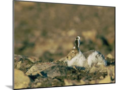 Arctic Hare Showing Changing Seasonal Colors-Norbert Rosing-Mounted Photographic Print