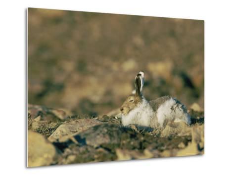 Arctic Hare Showing Changing Seasonal Colors-Norbert Rosing-Metal Print