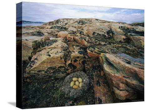 Eider Nest and Eggs-Norbert Rosing-Stretched Canvas Print