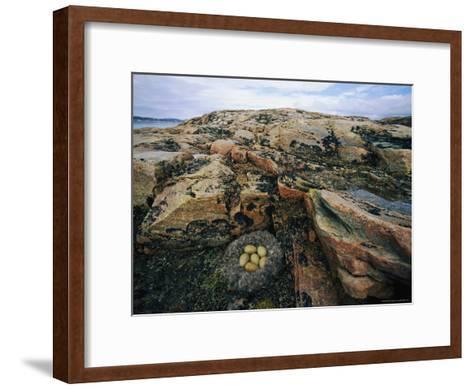 Eider Nest and Eggs-Norbert Rosing-Framed Art Print