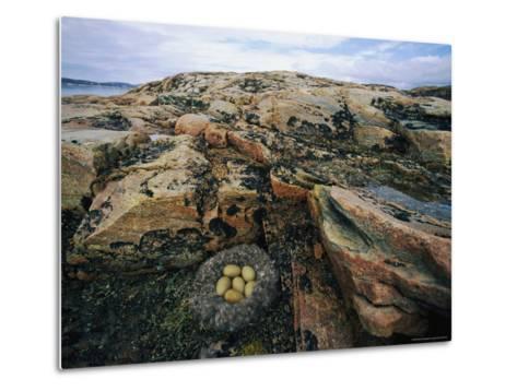 Eider Nest and Eggs-Norbert Rosing-Metal Print