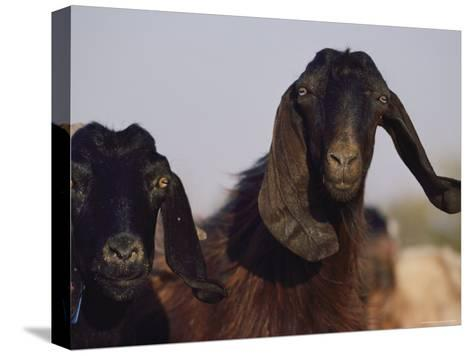 Close-up of Two Long-Eared Goats-James L^ Stanfield-Stretched Canvas Print