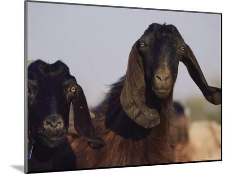 Close-up of Two Long-Eared Goats-James L^ Stanfield-Mounted Photographic Print
