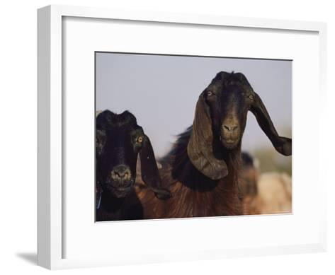 Close-up of Two Long-Eared Goats-James L^ Stanfield-Framed Art Print