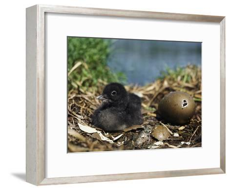 A Common Loon Chick Sits in its Waterside Nest--Framed Art Print