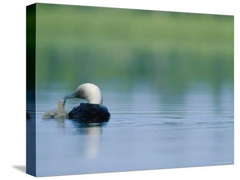 A Pacific Loon Feeds its Chick on a Serene Lake in Alaska--Stretched Canvas Print