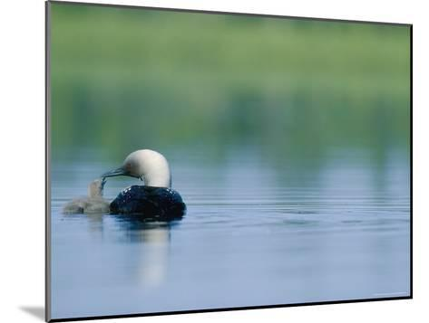 A Pacific Loon Feeds its Chick on a Serene Lake in Alaska--Mounted Photographic Print