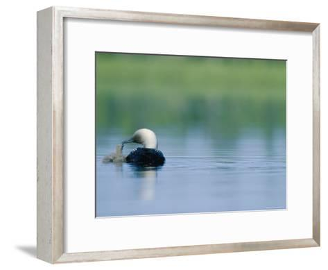 A Pacific Loon Feeds its Chick on a Serene Lake in Alaska--Framed Art Print