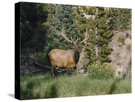 A Magnificent Elk Stands at the Edge of the Woods-Dr^ Maurice G^ Hornocker-Stretched Canvas Print