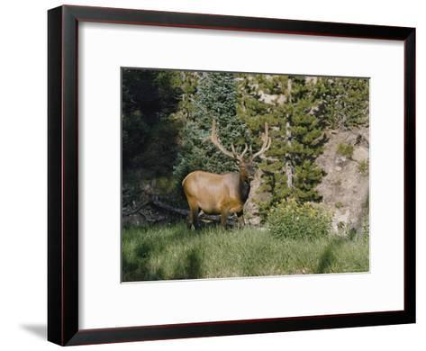 A Magnificent Elk Stands at the Edge of the Woods-Dr^ Maurice G^ Hornocker-Framed Art Print