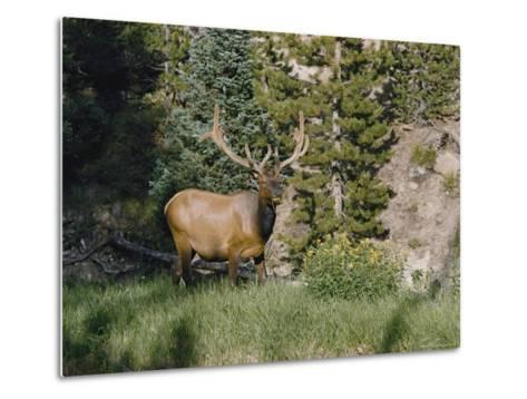 A Magnificent Elk Stands at the Edge of the Woods-Dr^ Maurice G^ Hornocker-Metal Print