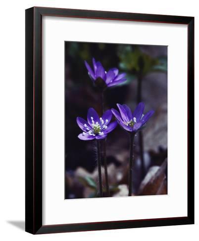Round-Lobed Hepatica Blossoms-Mattias Klum-Framed Art Print