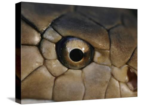 An Eye-To-Eye View of a King Cobra Showing its Olfactory Pit-Mattias Klum-Stretched Canvas Print