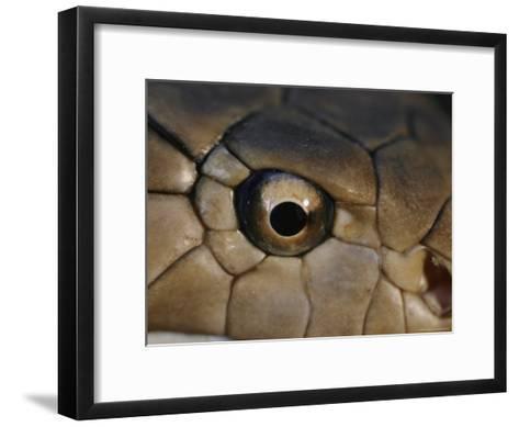 An Eye-To-Eye View of a King Cobra Showing its Olfactory Pit-Mattias Klum-Framed Art Print