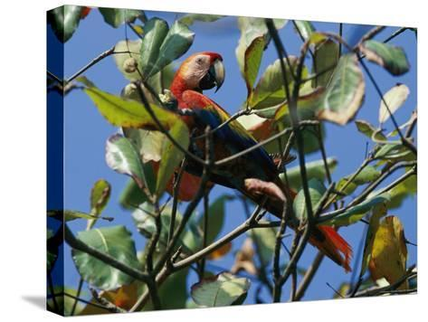 A Macaw Perches in a Tree-Steve Winter-Stretched Canvas Print