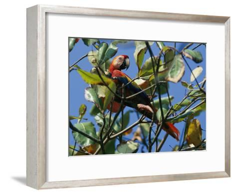 A Macaw Perches in a Tree-Steve Winter-Framed Art Print