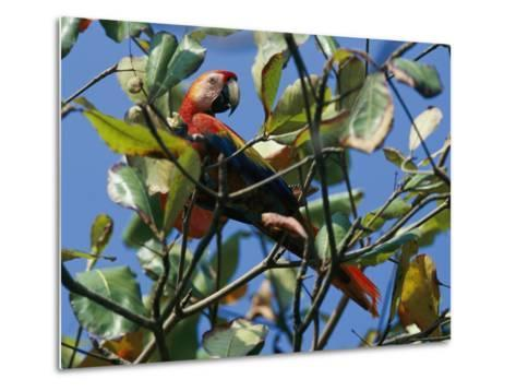A Macaw Perches in a Tree-Steve Winter-Metal Print